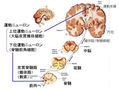 索 硬化 萎縮 症 側 筋 性